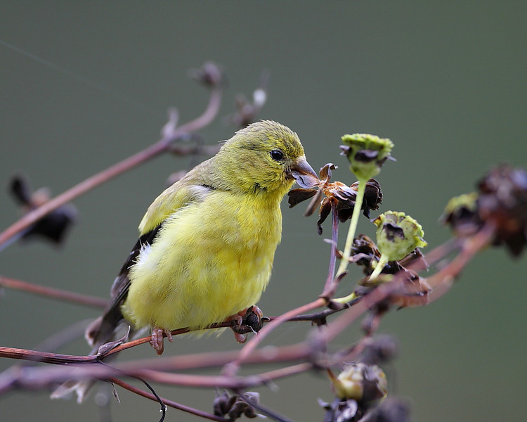 BG-086: Goldfinch