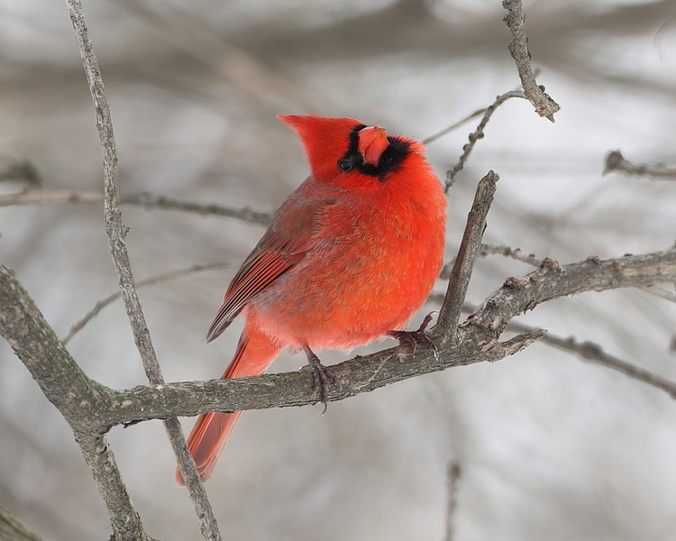 BG-179: Cardinal