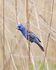 BG-067: Blue Grosbeak