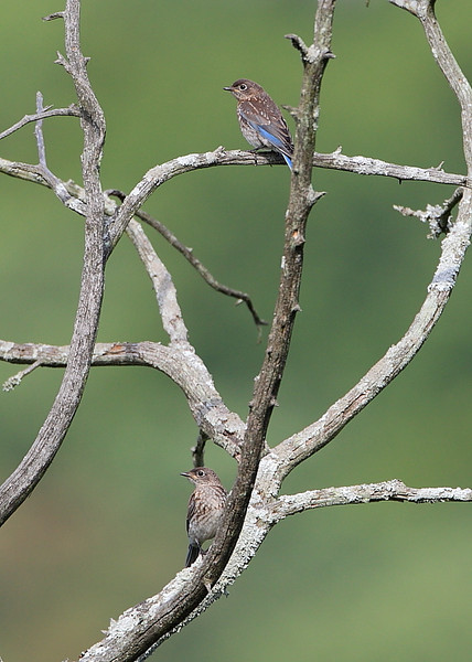 BG-129: Juvenile Eastern Bluebirds