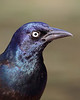 BG-042: Common Grackle