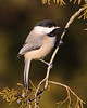 BG-051: Black-capped Chickadee