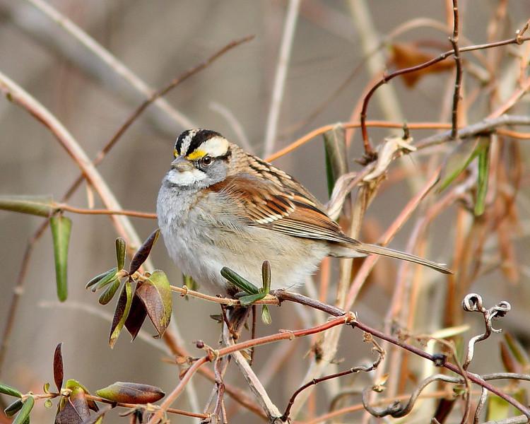 BG-087: White-throated Sparrow