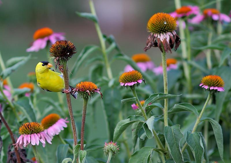 BG-102: Goldfinch on Purple Coneflower