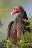 BG-068: Turkey Vulture