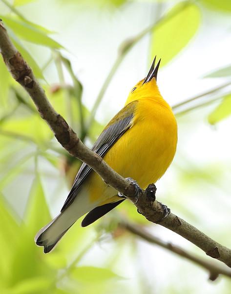 BG-168: Prothonotary Warbler