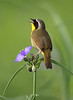 BG-172: Common Yellowthroat/Spiderwort