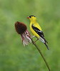 BG-176: American Goldfinch
