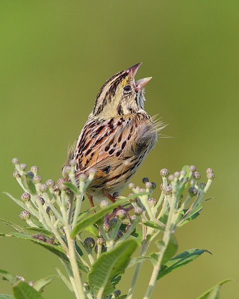 BG-081: Henslow's Sparrow