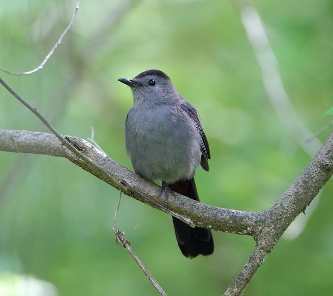 BG-158: Gray Catbird