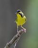 BG-160: Kentucky Warbler