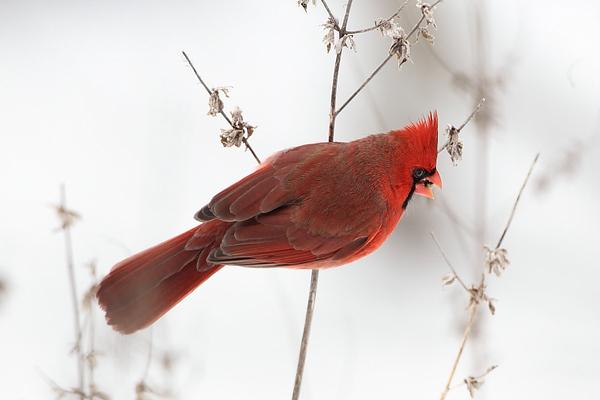 BG-178: Cardinal