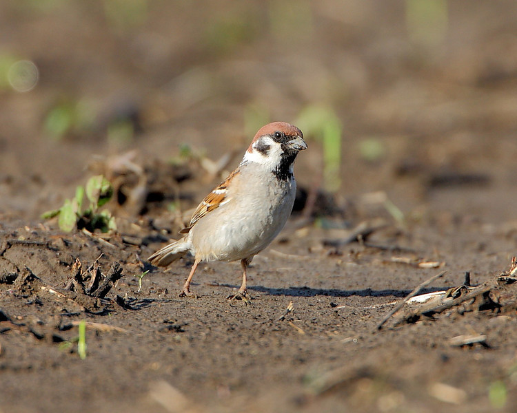 BG-028: Eurasian Tree Sparrow