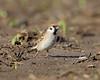 BG-028: Eurasian Tree Sparrow
