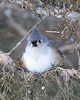 BG-055: Tufted Titmouse