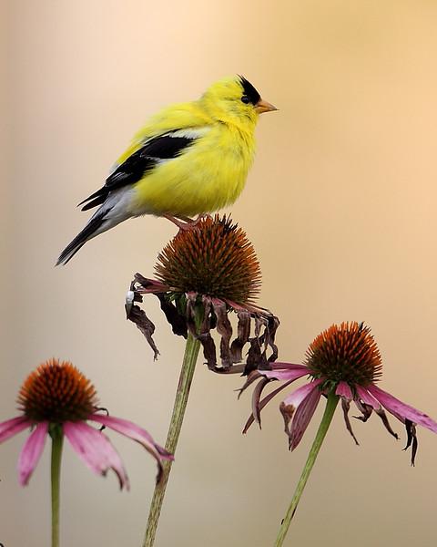 BG-182: Goldfinch on Coneflower