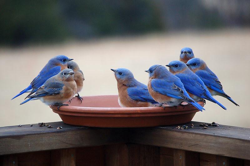 BG-103: Thirsty Bluebirds in Winter