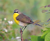 BG-120: Yellow-breasted Chat