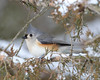 BG-060: Tufted Titmouse