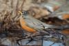 BG-110: American Robin
