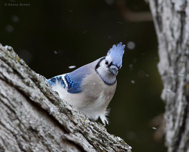 BG-177: Blue Jay