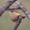 BG-020: Carolina Wren