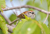 BG-035: Chipping Sparrow