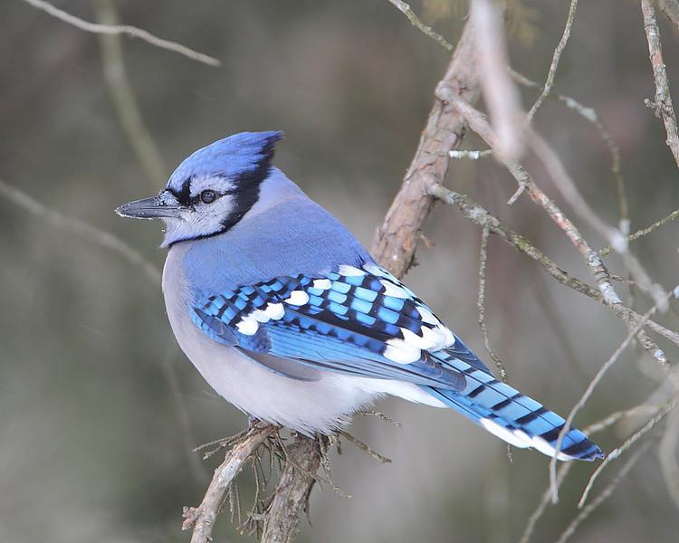BG-053: Blue Jay