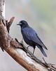 BG-066: American Crow