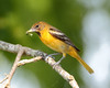 BG-033: Baltimore Oriole