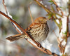 BG-088: Brown Thrasher