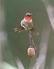 BG-175: Ruby-throated Hummingbird