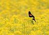 B-189: Red-winged Blackbird in Butterweed Field