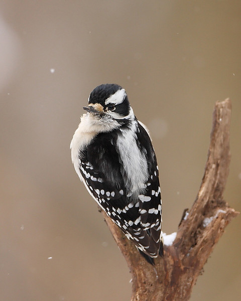 BG-026: Downy Woodpecker