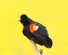 B-188: Red-winged Blackbird with Butterweed Bokeh