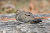 BG-036: Mourning Dove