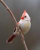 BG-183: Leucistic Cardinal