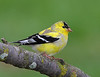 BG-008: Goldfinch