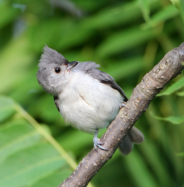BG-132: Tufted Titmouse