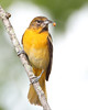 BG-034: Baltimore Oriole