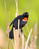 BG-041: Red-winged Blackbird