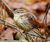 BG-118: Carolina Wren
