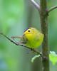BG-078: Wilson's Warbler