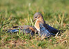BG-063: Eastern Bluebirds