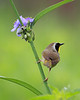 BG-123: Common Yellowthroat on Spiderwort