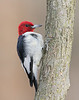 BG-076: Red-headed Woodpecker