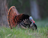 BG-152: Eastern Wild Turkey