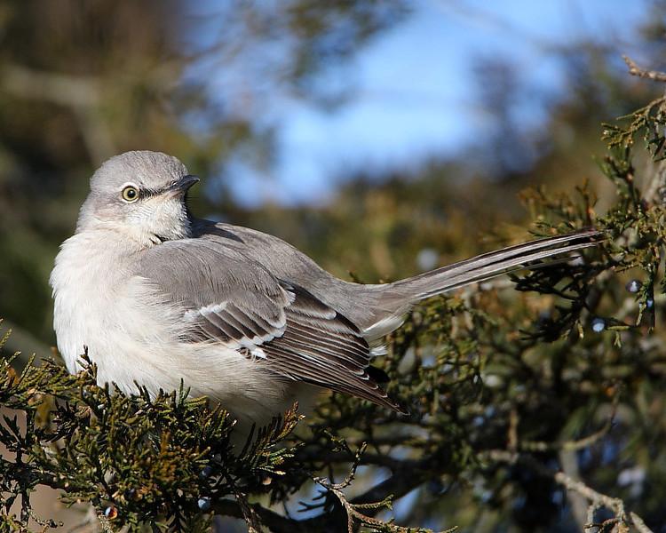 BG-047: Mockingbird
