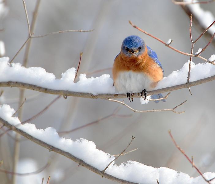 BG-147: Grumpy Bluebird