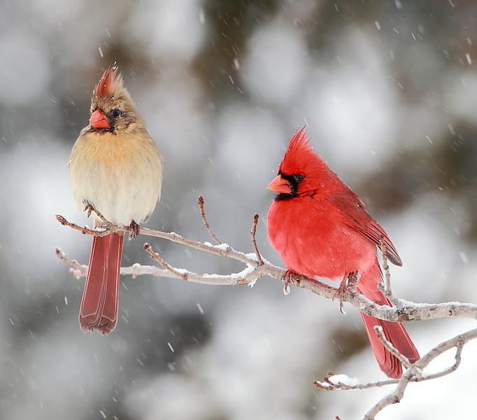 BG-115: Cardinals in a Snowstorm